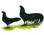 Black Sumatra Chickens