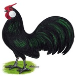Rosecomb Rooster