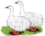 Sebastapol Geese