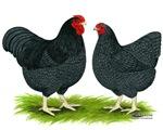 Blue Wyandotte Chickens