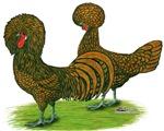 Golden Polish Chickens