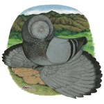 Blue Bokhara Pigeon
