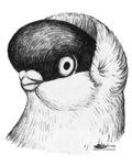 Helmet Shortface Pigeon