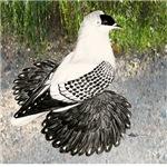 Swallow Pigeon In Field