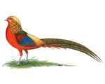Golden Pheasant Rooster