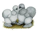 Silkie Chickens Self Blue