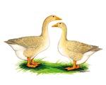 Buff Geese #2