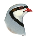 Chukar Partridge Head