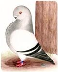 Blue Owl Pigeon