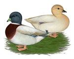 Pastel Call Ducks