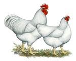 White Rock Chickens
