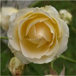 Pale Yellow Rose 2