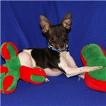 Toy Fox Terrier - Christmas