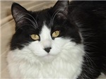 Black and White Longhaired Cat