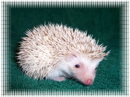 Sweet Pinto Hedgehog