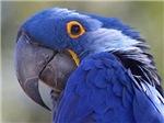 Gorgeous Blue Parrot
