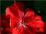 Dainty Scarlet Flower