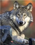 Awesome Gray Wolf