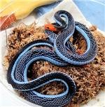 Malayan Blue Coral Snake