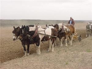 Misc Draft Horses