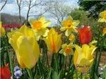 3078 Tulips Daffodils