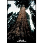 Sequoia National Park Tree