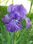 Bearded Iris Lovers