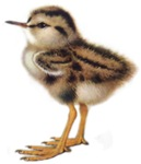 Baby Redshank T-Shrts