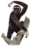 White-handed Gibbon T-Shirts