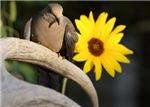 Sunflower Dove