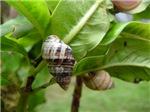 Rare Endemic Hawaiian Snail