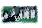 Collie and Sheltie Lineup