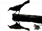 Nature: Blackbird Squared