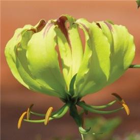 Yellow Gloriosa Lily