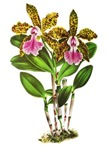 Tropical Cattleya Orchid by Lindenia