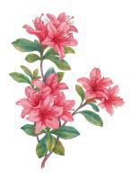 Pink Rhododendrum