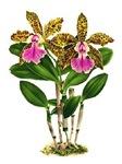 Cattleya-Memoria bleui Orchid