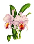 Violet Whisper Cattleyea Orchid