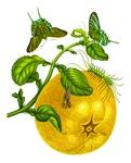Maria Sibylla Merian Botanical