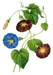 Pierre-Joseph Redoute Botanical