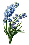 Hyacinth Drawn From Nature