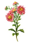 China Aster Drawn From Nature