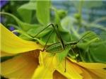 Catydid