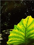 Light On Leaf Cat Forsley Designs