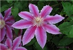 Clematis 'Nelly Moser'