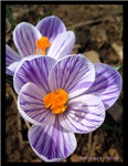Pickwick crocus - two o'clock