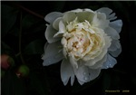.white peony.