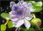 .water hyacinth.