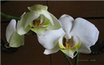 .white phalenopsis. I