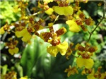 .yellow oncidium.